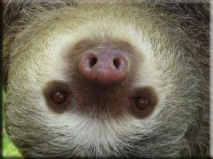 sloth-upside-down